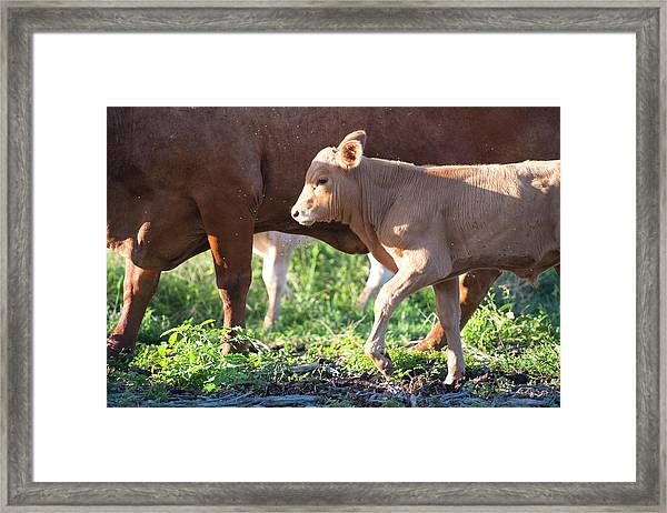 Framed Print featuring the photograph Calf by Rob D Imagery