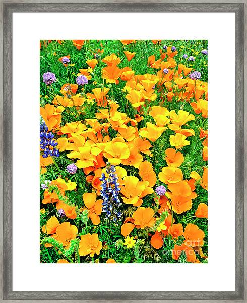 California Poppies And Betham Lupines Southern California Framed Print