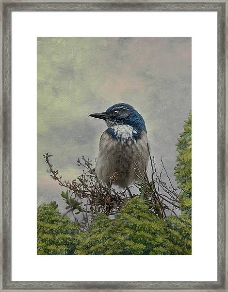 Framed Print featuring the photograph California Scrub Jay - Vertical by Patti Deters