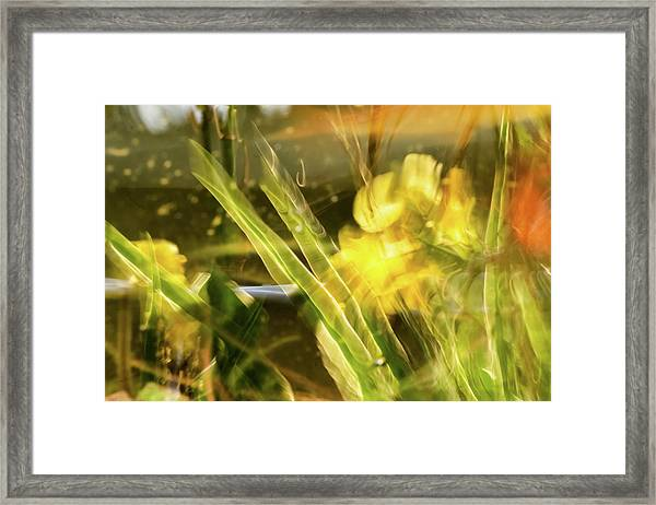 Canna Lily 2 Framed Print