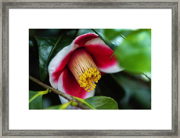 Camellia Bloom And Leaves Framed Print