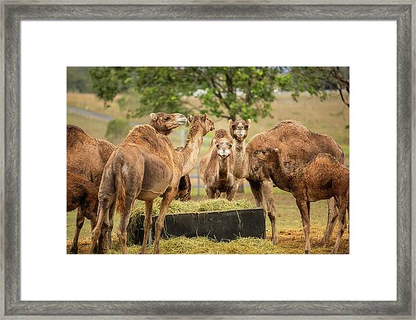 Framed Print featuring the photograph Camels Out Amongst Nature by Rob D Imagery
