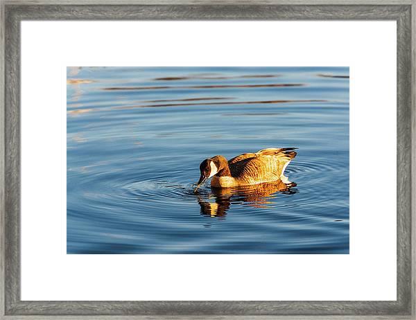 Canada Geese At Marsh Island Framed Print