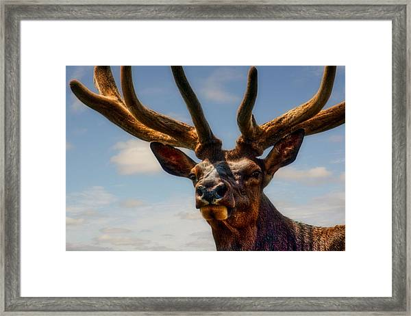 Framed Print featuring the photograph Canadian Wapiti by Bryan Smith