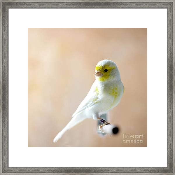 Canary Bird Sitting On A Twig Framed Print
