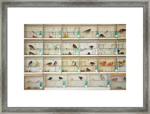 Canary Birds Framed Print