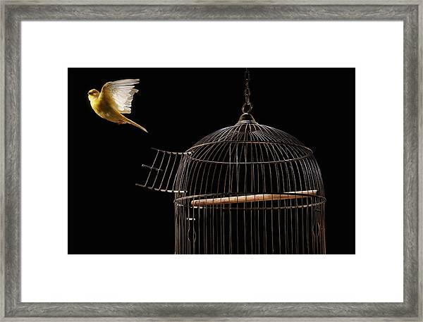 Canary Flying Out Of Cage Framed Print