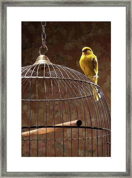 Canary Perching Atop Birdcage Framed Print