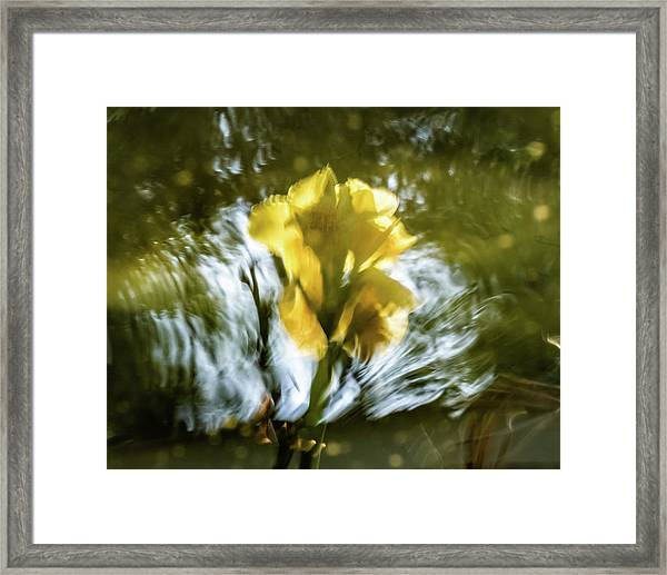 Canna Lily 3 Framed Print