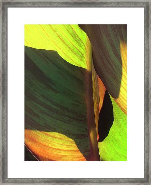 Canna_2043_17 Framed Print