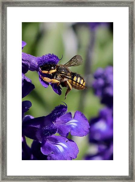 Carder Bee On Salvia Framed Print