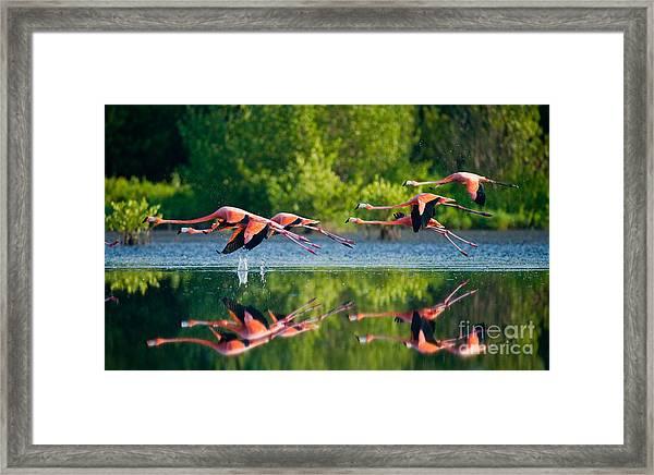 Caribbean Flamingos Flying Over Water Framed Print