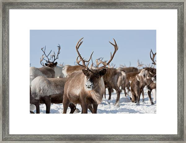 Caribou Group On Pastures In The Framed Print