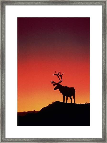 Caribou Rangifer Tarandus At Sunset Framed Print