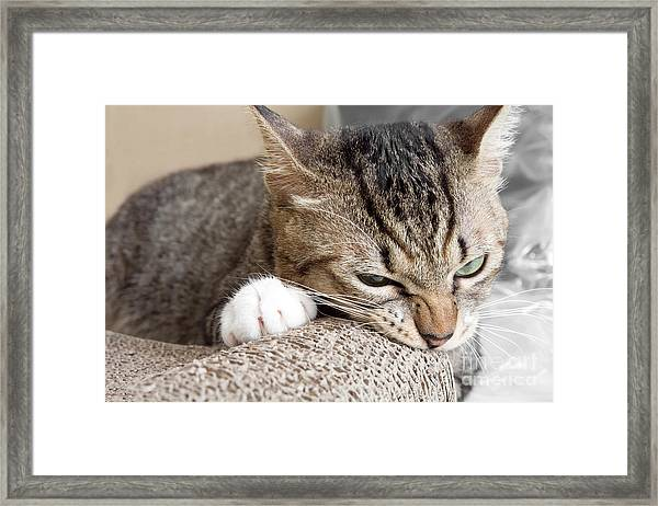 Cat Scratching And Biting.claws On The Framed Print by Yimmyphotography