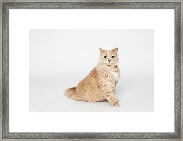 Cat Simba Framed Print