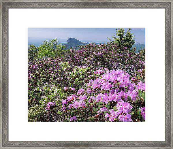 Catawba Rhododendron Table Rock  Framed Print