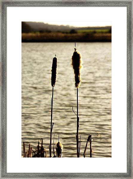 Cattails In The Sun Framed Print