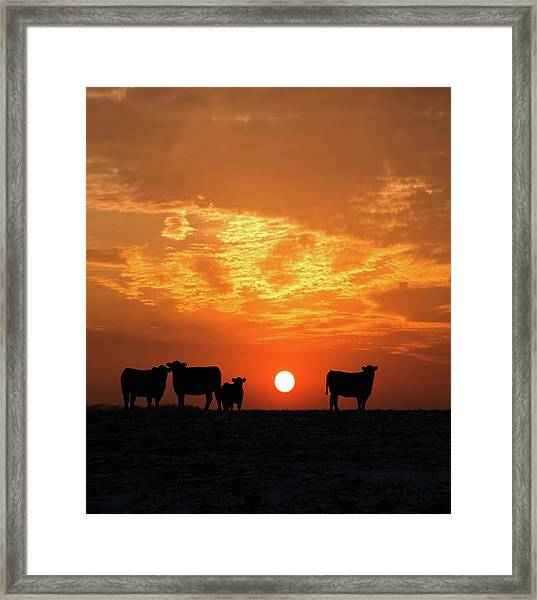 Cattle At Sunset Framed Print