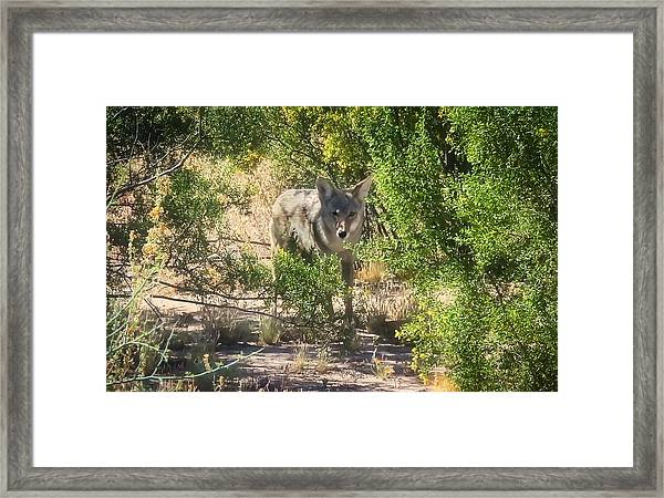 Cautious Coyote Framed Print