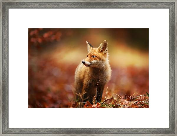 Cautious Fox Stopped At The Edge Of The Framed Print