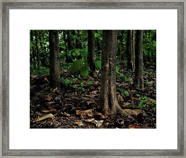 Cedar Trees Framed Print