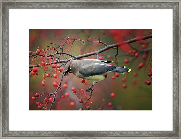 Cedar Waxwing 102206 Framed Print