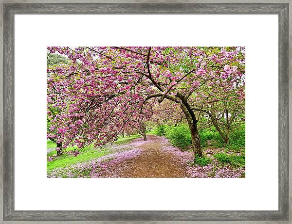 Central Park Cherry Blossoms Framed Print