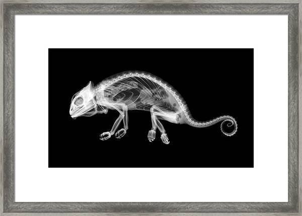 Chameleon Chamaeleo Chamaeleon Framed Print by Nick Veasey