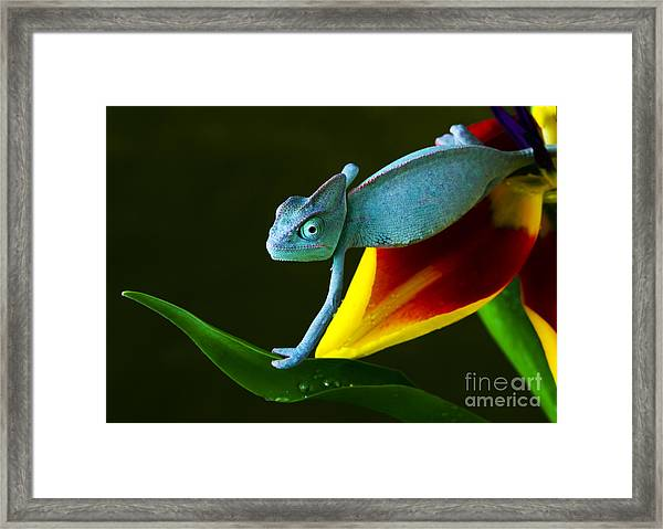 Chameleons Belong To One Of The Best Framed Print