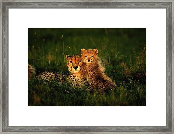 Cheetah Acinonyx Jubatus With Cubs In Framed Print by Art Wolfe