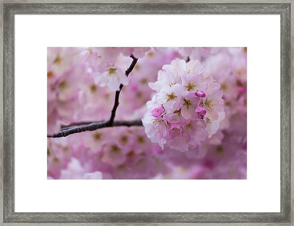 Cherry Blossom 8624 Framed Print