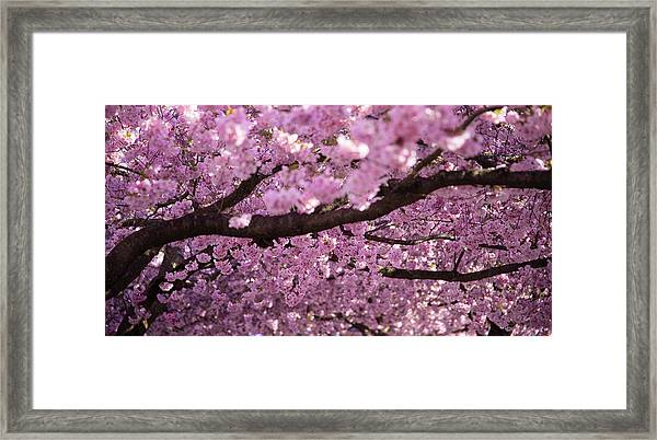 Cherry Blossom Tree Panorama Framed Print