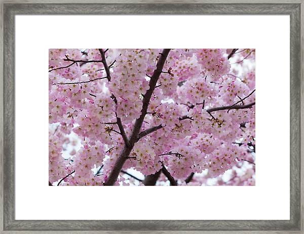 Cherry Blossoms 8611 Framed Print