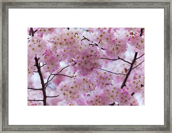Cherry Blossoms 8625 Framed Print