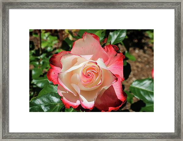 Framed Print featuring the photograph Cherry Parfait Rose by Dawn Richards