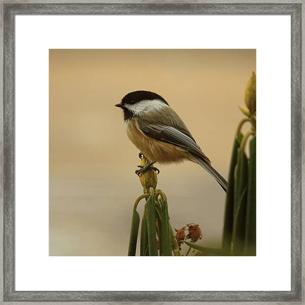 Chickadee On Rhododendron Framed Print