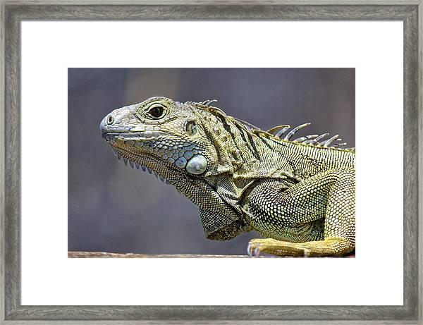 Chicken Of The Trees - Iguana Framed Print