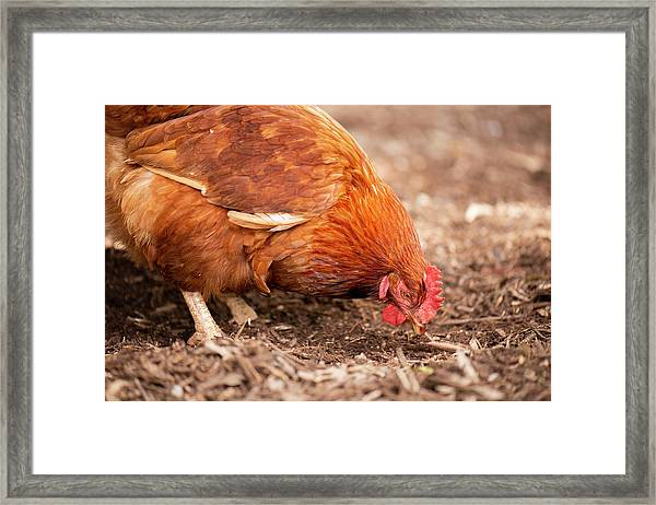 Framed Print featuring the photograph Chicken On The Farm by Rob D Imagery