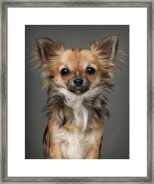 Chihuahua 7 Months Old Framed Print