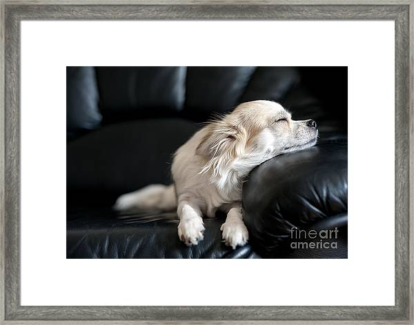 Chihuahua Dog Dozing On Black  Leather Framed Print