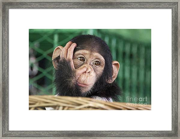 Chimpanzee Face Framed Print