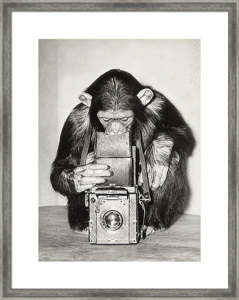 Chimpanzee Looking Through Vintage Box Framed Print