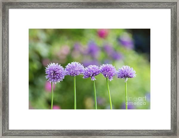 Chive Flowers Framed Print