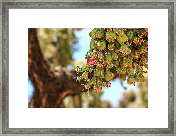 Framed Print featuring the photograph Cholla Cactus Blooms by Dawn Richards