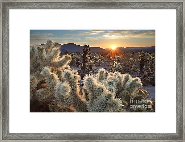 Chollas Cactus Sunrise Joshua Tree Framed Print by Sierralara