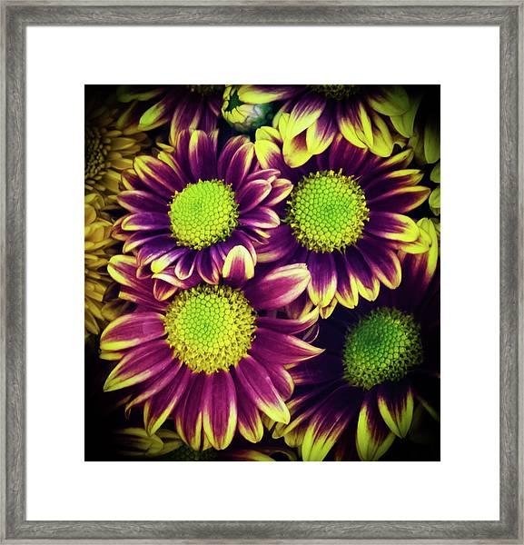 Chrisantemum Framed Print