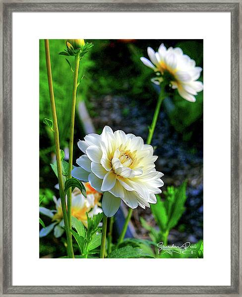 Chrysanthemum In Bloom Framed Print