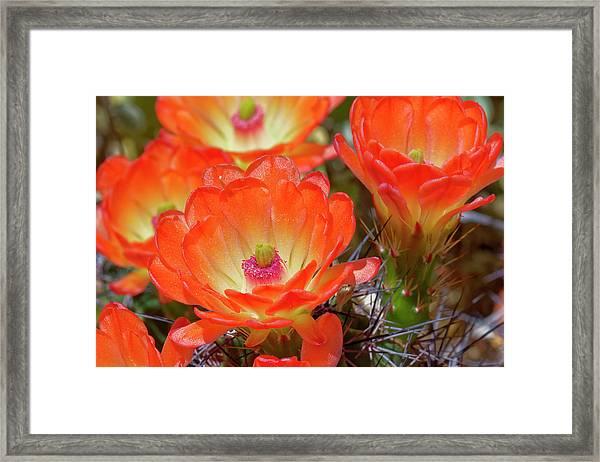 Claret Cup Cactus Flowers, Echinocereus Framed Print by Adam Jones