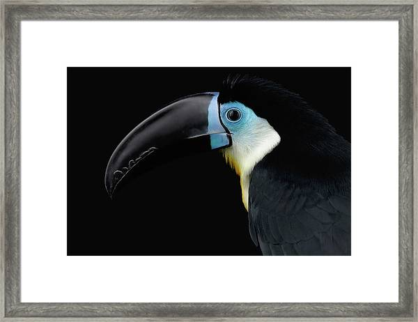 Close-up Channel-billed Toucan, Ramphastos Vitellinus, Isolated On Black Framed Print